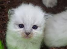 قطط كتن هملايا Himalayan cat