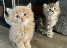 ابي قطة للتبني - i want a cat for adoption