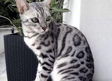 Bengal cat grey for 14000