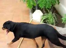 كلب نتايه انثي روت وايلر للبيع