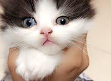 قط شيرازي مون فيس