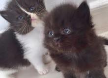 قطة شيرازي باندا انثى قابل للتفاوض.....