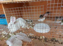 2 Rabbits Pair White Male with Read eyes Peach Females