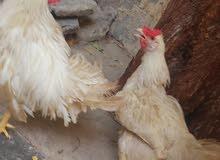 ديج دجاجه مالات بيت