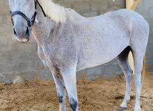 حصان خصي قدره للبيع أرجنتيني سليم ماشاء الله