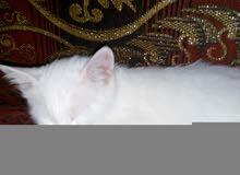 بس شيرازي كل عين لون عمره 3اشهر عين زرقاء وعين عسليه