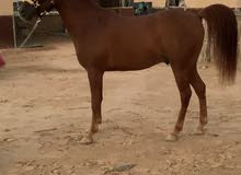 Part Arab gelding 5 year old with passport  for new home