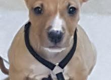 كلب بيتبول 3 شهور