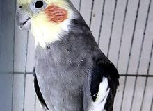 coactail parrot in gray colour with cage