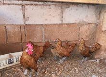 دجاج شبرايز للبيع