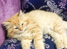 قطط كيوت للبيع