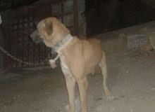 كلب للبيع 0788396719