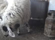 خروف عمر سنه ونص