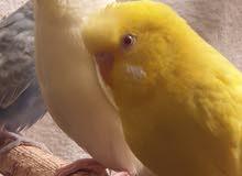 طيور هولندي للبيع
