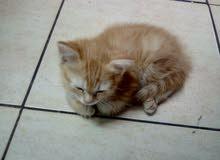 قطط شيرازيه انثي عمره شهران ونص بس لاالبيع