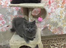 قطط شانشيلا بيور للبيع كل قطه سعرها 100 دينار