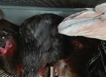 دجاج بلدي وفيومي بياض صحه ونظافه