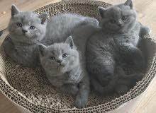 Bristish Shorthair Kittens For Adoption