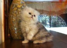 قطه شانشيلا فارسي اصلي منزلي