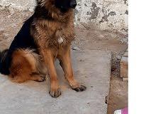 كلب بيرجي للبيع العمر عام و سبعة أشهر