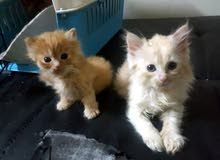 2 Persian kittens for sale