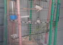 جوزين طيور الجنة مع فراخ