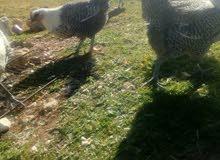 دجاج فيومي 12  مع ديك