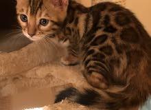 للبيع قطط البنغال