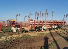 مزرعة مجهزة للمواشي مساحتها 20 هكتار للبيع ببوسكورة بثمن مناسب الدار البيضاء