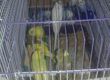 طيور حب مخاليف 10 حبات