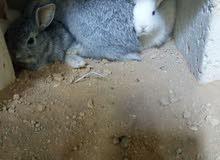 أرنب مفطوم للبيع عدد 20 حبة