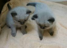 قطط راغدول العمر شهر للبيع الواحد 800