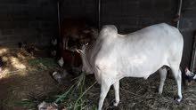 ثور اثيوبي مطعوم طعام الدار