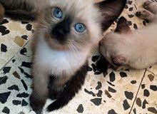 قطط مهجنة (الأم سيامي والأب فارسي)عمرهم 40يوم