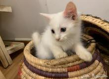 cute white kitten for sale