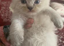 قطه هملايا اصلي