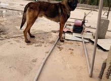 كلاب مينواء العمر سنه او نص