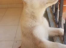 husky هاسكي للبيع