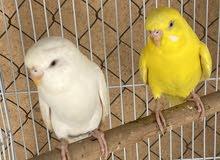 للبيع طيور الالبينو محليات الاسعار في الوصف