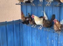 للبيع دجاج عربي
