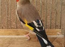 عصافير الحسون