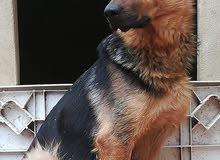 كلب الراعي الألماني اصلي