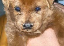 golden retriever mix Labrador