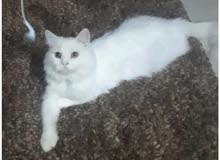 Pure PERSIAN Cat male very lovely Cat