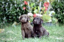 labladoure puppies out of imported parents