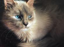 قطة من فرنسا