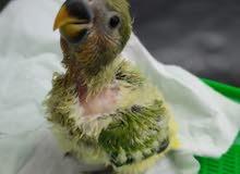 African Love Bird Baby