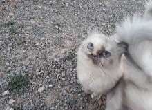 قطة هيمالايا تبارك الرحمن