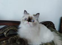للبيع قطة هملايا تشوكلت
