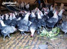 دجاج فيومي مميز للبيع